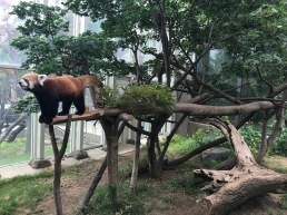 "The red panda. Called the ""lesser panda"" here in Korea."